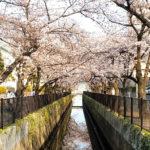 新曽南の桜
