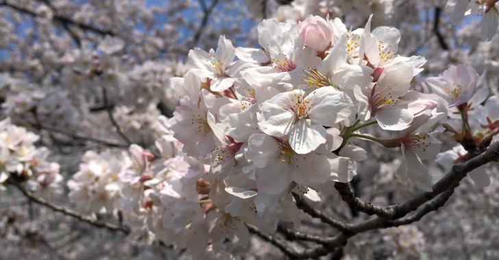 戸田市各所の桜