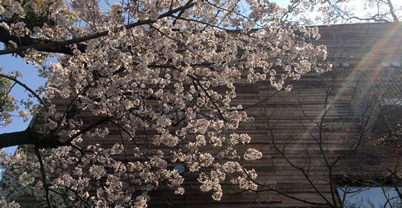 あいパルの桜