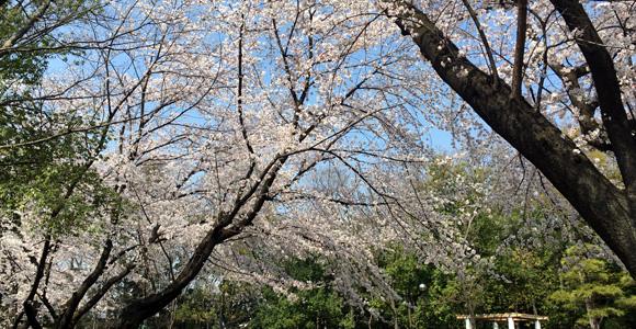 後谷公園の桜