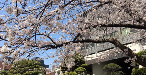 戸田市役所の桜
