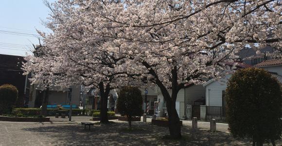 上町第二公園の桜