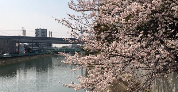 川岸公園横、菖蒲川の桜
