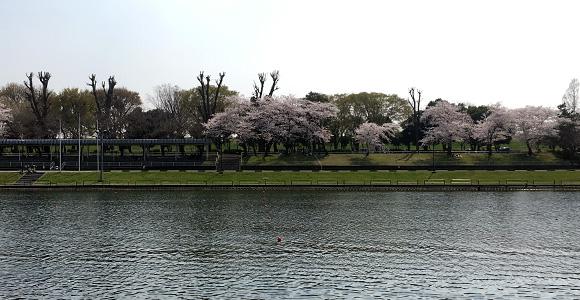 戸田公園の桜
