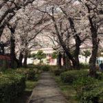 戸田各所、3月24日(土)の桜の様子
