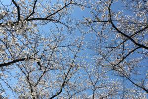 戸田各所、3月25日(日)の桜の様子