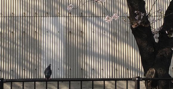 鳩と倉庫と桜