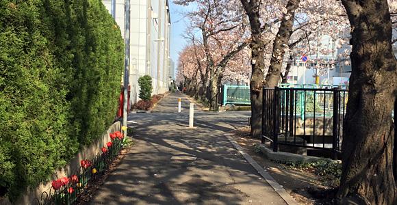 桜と道沿いのチューリップ
