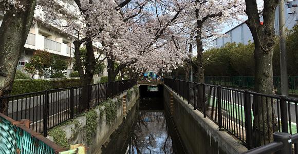 最も西の地点の桜