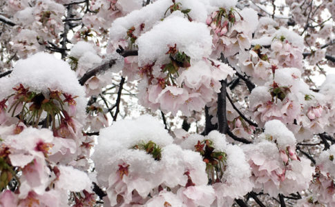 桜に積もる雪
