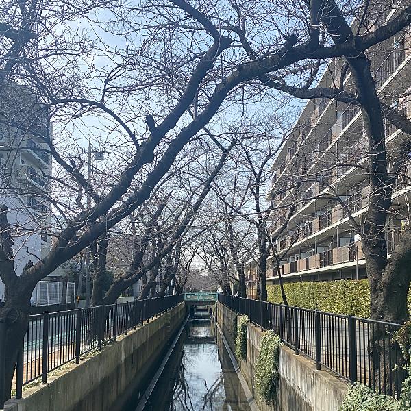 新曽南の桜(3月4日)