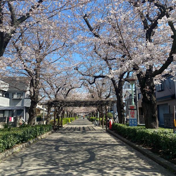 喜沢の桜(3月23日)