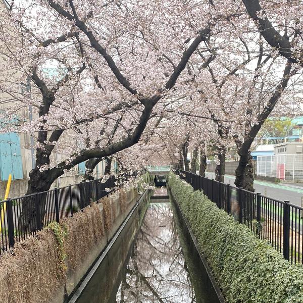 新曽南の桜(3月22日)