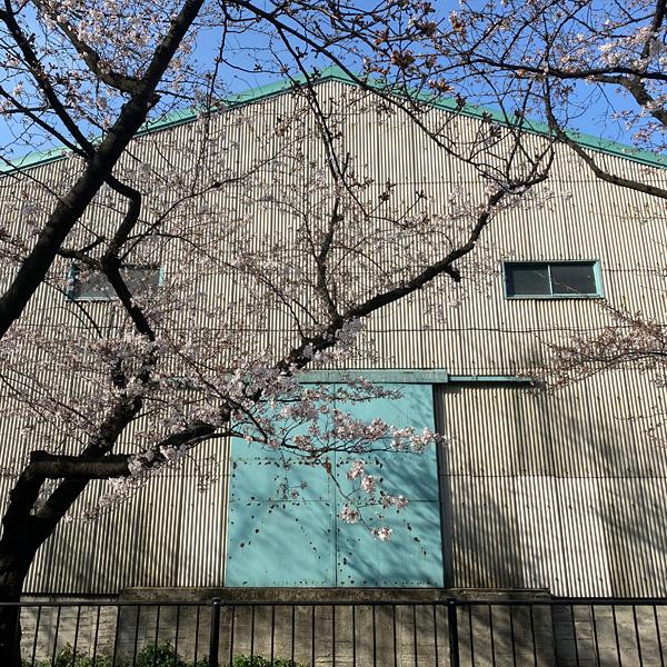 新曽南の桜(3月19日)