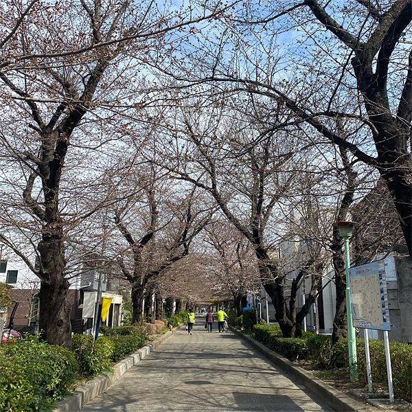 喜沢の桜(3月19日)