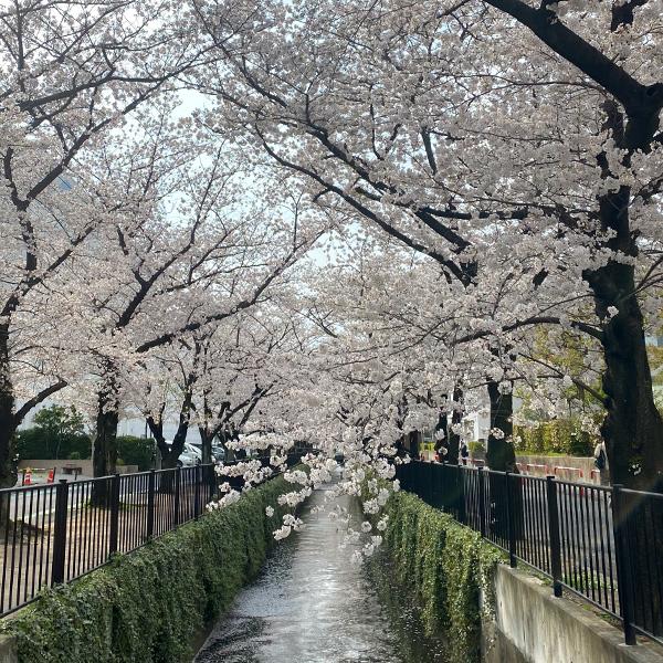 新曽南の桜(3月26日)