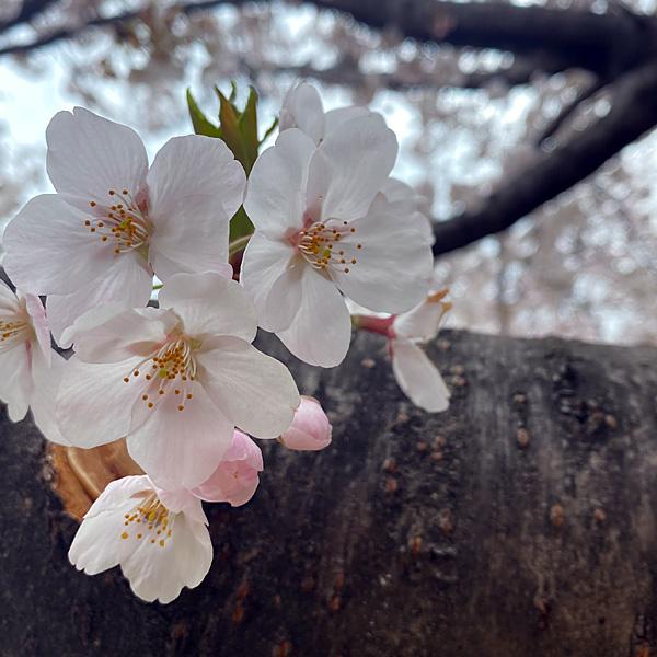 戸田桜づつみ(3月28日)