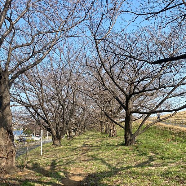 戸田桜づつみ(3月19日)