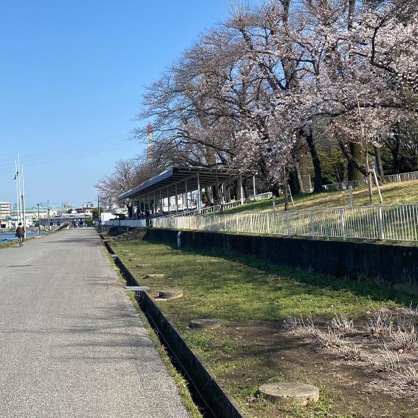 県営戸田公園の桜(3月24日)