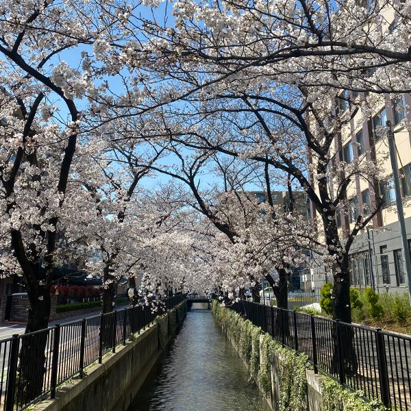 新曽南の桜(3月24日)