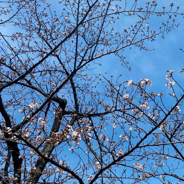 新曽南の桜(3月16日)