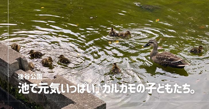 後谷公園(戸田市)のカルガモ親子